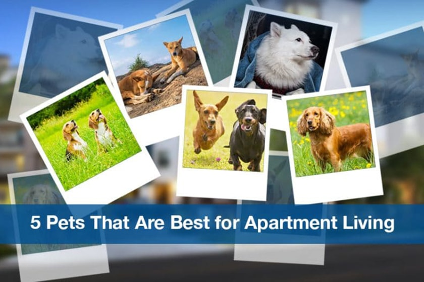 5 dogs that are best for apartment living roofandfloor